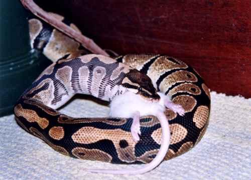 Alimentazione del pitone reale boidi serpenti rettili for Rettili domestici