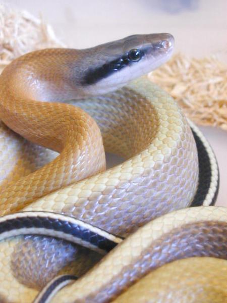 Elaphe taeniura boidi serpenti rettili teche attrezzature for Nomi di rettili